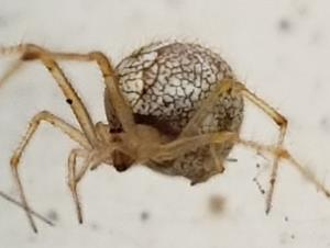 picture of a common house spider (parasteatoda-tepidariorum